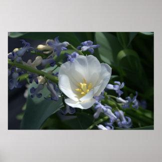 Tulipán blanco póster