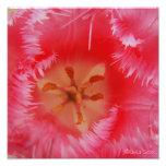 Tulipán con el frnge rosado foto