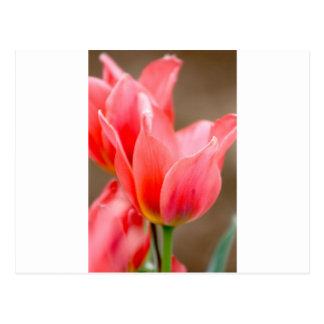 Tulipán coralino postal