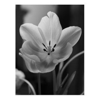 Tulipán de la primavera en postal monocromática