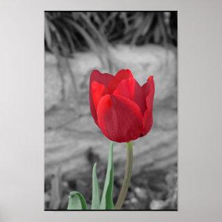 Tulipán de la primavera posters