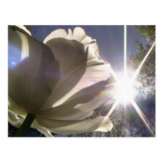 tulipán del angelique tarjetas postales