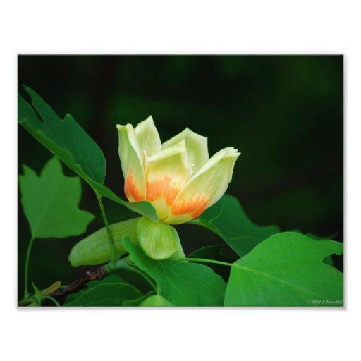 Tulipán del árbol de álamo arte con fotos