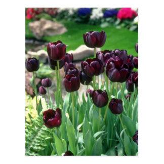 Tulipán del cisne negro de Brown, (Tulipa Gesneria Postales