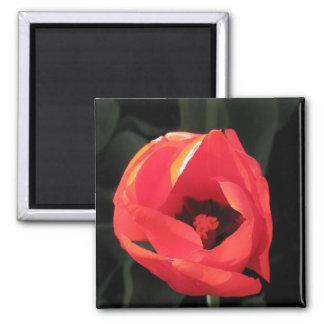 Tulipán del escarlata imán cuadrado