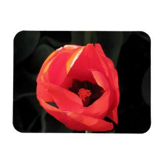 Tulipán del escarlata imán de vinilo