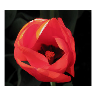 Tulipán del escarlata poster