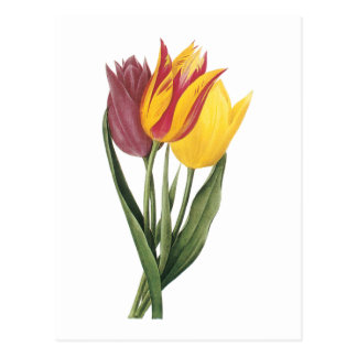 tulipán (gesneriana de Tulipa) por Redouté Postal