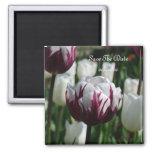Tulipán-Imán púrpura y blanco