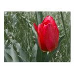 tulipán postal