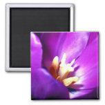 Tulipán púrpura iman de nevera