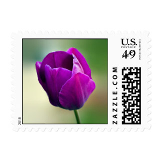 Tulipán púrpura sellos