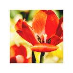 Tulipán rojo abierto impresiones en lona estiradas