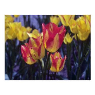 Tulipán rojo de Georgette, (Tulipa Multoflora) flo Tarjetas Postales