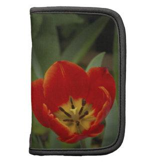 Tulipán rojo del jardín organizador