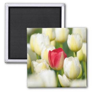 Tulipán rojo en un campo de los tulipanes blancos imán cuadrado