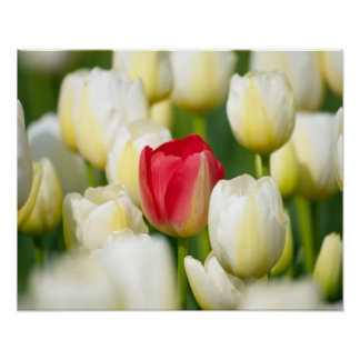 Tulipán rojo en un campo de los tulipanes blancos póster