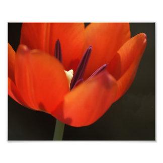 Tulipán rojo fotografía