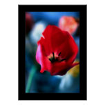 Tulipán rojo poster
