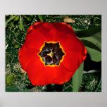 Tulipán rojo posters