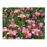 tulipán, rosa postal