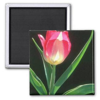 Tulipán rosado rojo de la belleza, (Tulipa Gesneri Imán Cuadrado