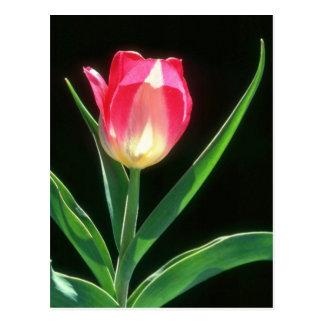 Tulipán rosado rojo de la belleza, (Tulipa Gesneri Tarjetas Postales