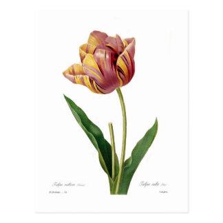 Tulipán Tarjetas Postales