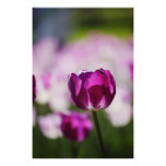 Tulipán violeta impresiones