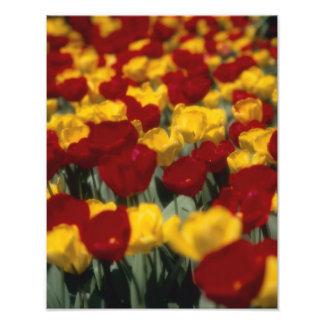 Tulipanes 2 fotografías