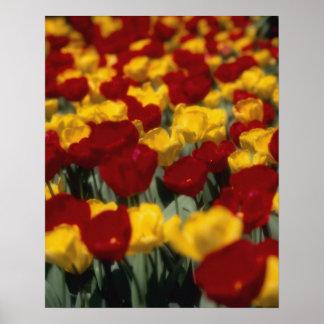 Tulipanes 2 póster