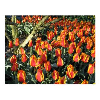 Tulipanes africanos del proverbio y de la llama tarjeta postal