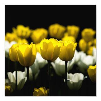 Tulipanes amarillo y blanco fotografías
