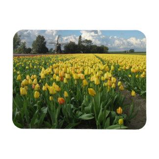 Tulipanes amarillos en un campo Holanda Imán Rectangular