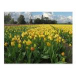 Tulipanes amarillos en un campo Holanda Postales