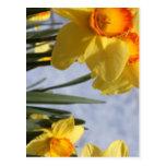 Tulipanes amarillos postal