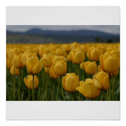 Tulipanes amarillos posters