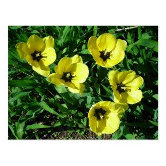 tulipanes amarillos soleados postales