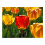 Tulipanes amarillos, tulipanes anaranjados tarjeta postal