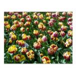 Tulipanes amarillos y púrpuras tarjeta postal