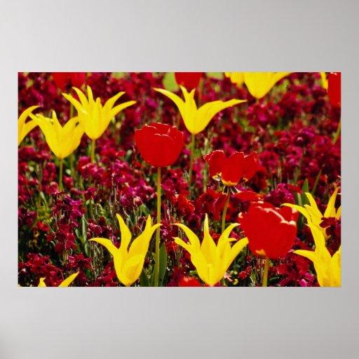 Tulipanes amarillos y rojos rojos con la parte póster