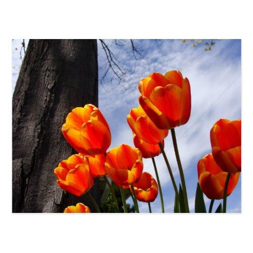 Tulipanes anaranjados 2 tarjetas postales