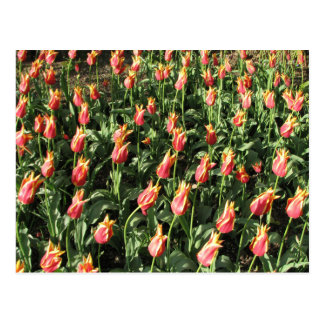 Tulipanes anaranjados/amarillos del volante postal