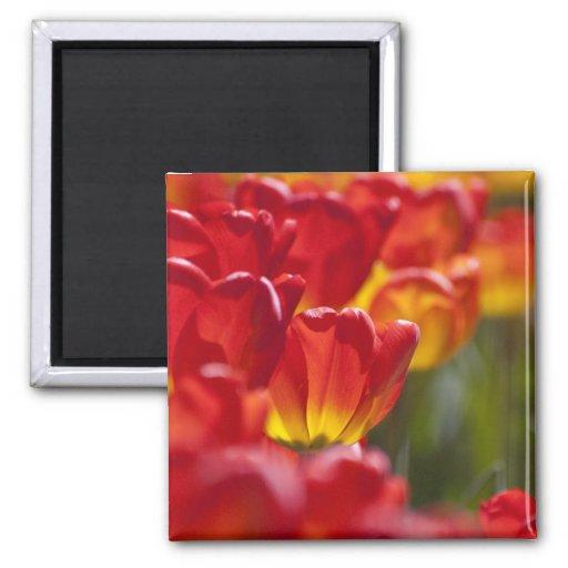 Tulipanes anaranjados que brillan intensamente imán cuadrado