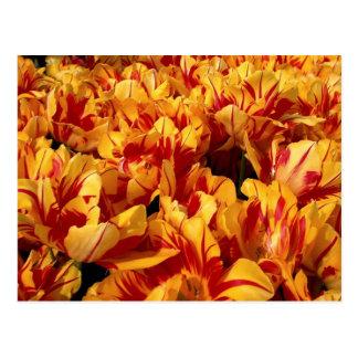 Tulipanes anaranjados rojos del fuego tarjeta postal