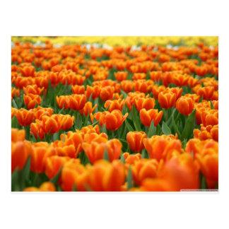 Tulipanes anaranjados postales