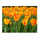 Tulipanes anaranjados tarjeta postal
