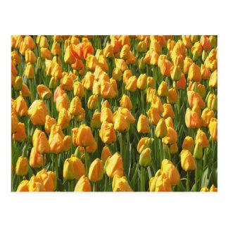 Tulipanes anaranjados postal