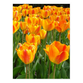 Tulipanes anaranjados tarjetas postales