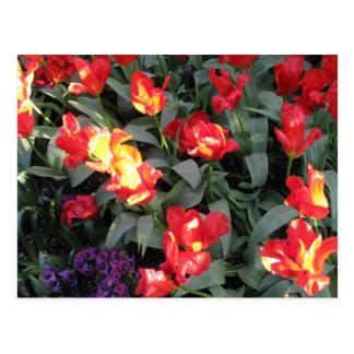 Tulipanes anaranjados y rojos de la llama tarjeta postal